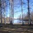川沿いの白樺の木立