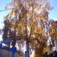 落葉を始めたシラカバ