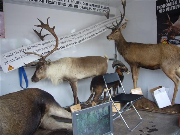 左がトナカイ、右が普通の鹿
